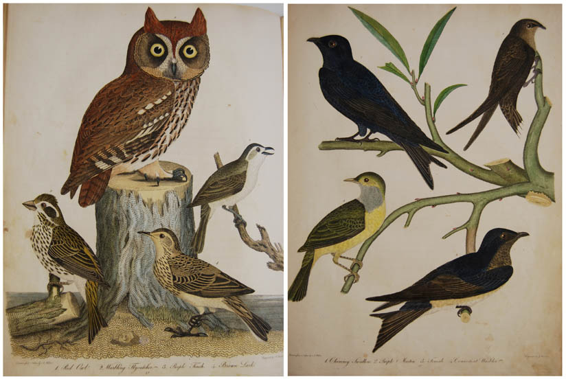 Two pages from American Ornithology