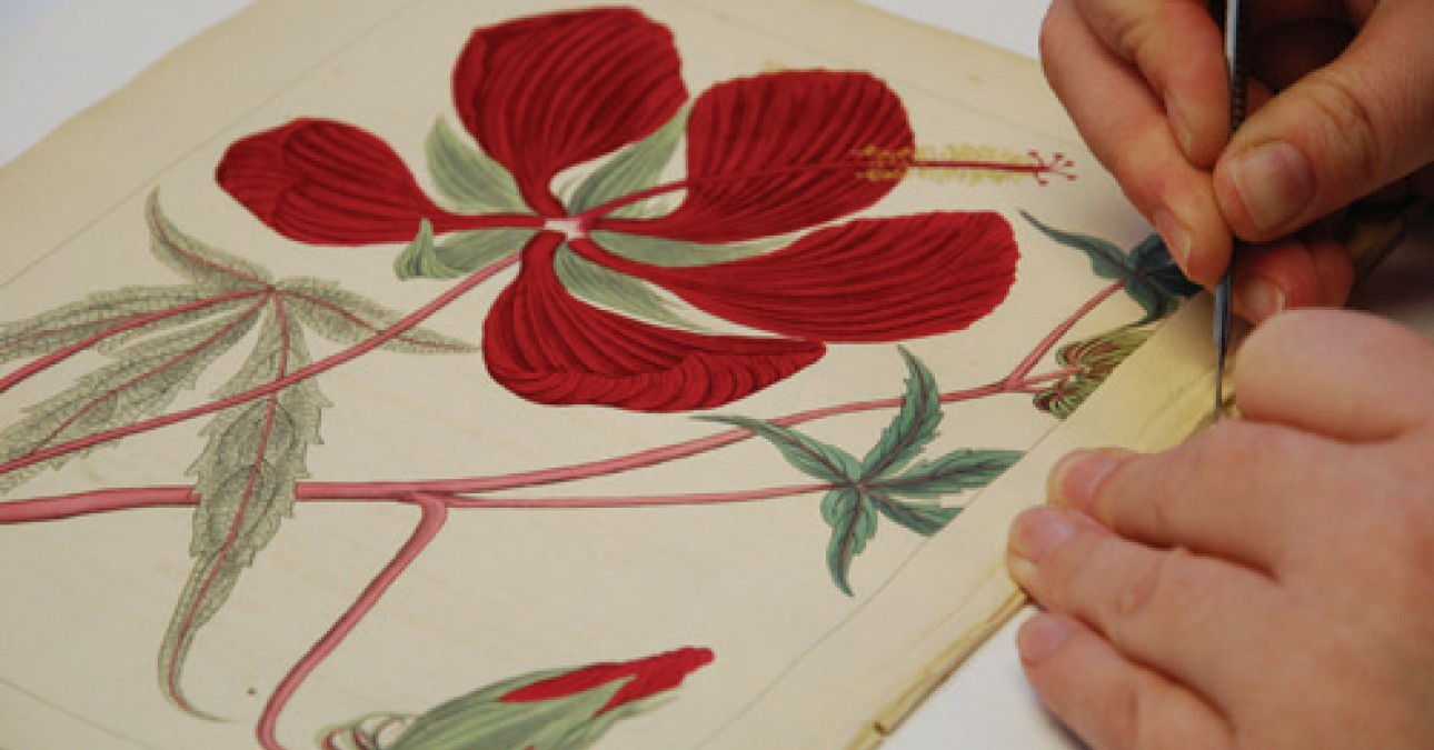 Conservator removes adhesive from botanical text